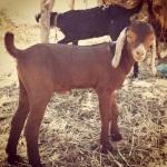 Goat kid at Kothiwade